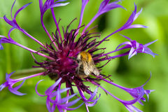Centaurea montana. Detail of purple mountain cornflower Royalty Free Stock Photography