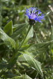 Centaurea montana flower. In the German alps Royalty Free Stock Images