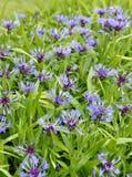 Centaurea montana Royalty Free Stock Photo
