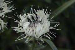 Centaurea Montana fotografie stock libere da diritti