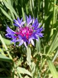 Centaurea montana, mountain cornflower. In a oaks field Royalty Free Stock Photography