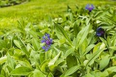 Centaurea montana (perennial cornflower). Blooming flower - Centaurea montana (perennial cornflower Stock Photo
