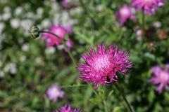 Centaurea moschata Stock Photography