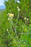 Centaurea orientalis flower Stock Image