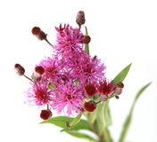 Centaurea scabiosa Stock Photo