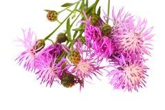 Free Centaurea Scabiosa Stock Photo - 10755280