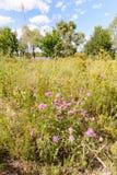 Centaurea Scabiosa Flower Stock Photography
