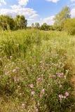 Centaurea Scabiosa Flower Royalty Free Stock Images