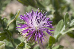 Centaurea seridis Royalty Free Stock Photo