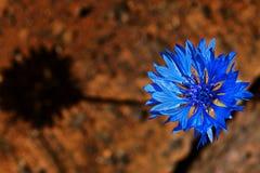 Centaurea stock afbeelding