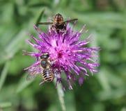 Centaurea y abeja de Brown Foto de archivo libre de regalías
