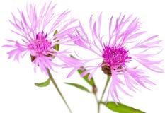 Centaureablumen lokalisiert auf weißem Hintergrund Lizenzfreie Stockfotografie