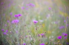 Centaureajacea stock foto's