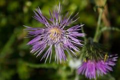 Centaureapullata, centory eller centaury som är botanisk Arkivbilder
