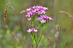 Centaurium erythraea Stock Photo