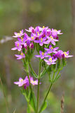 Centaurium erythraea Royalty Free Stock Photography