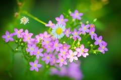 Centaurium erythraea flowers flourished. In the garden Royalty Free Stock Photo