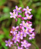 Centaury (Centaurium erythraea). Close-up of centaury (Centaurium erythraea) flower Royalty Free Stock Photo