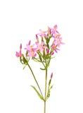 Centaury común (erythraea del Centaurium) Imágenes de archivo libres de regalías
