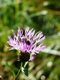 Centaury cor-de-rosa em um campo Foto de Stock