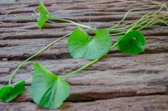 Centella asiatica在老木地板上 库存照片