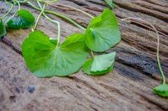 Centella asiatica在老木地板上 库存图片