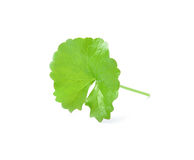 Centella asiatica, Asiatic Pennywort,(Centella asiatica (Linn.) Royalty Free Stock Photos