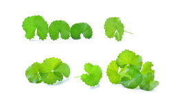 Centella asiatica, Asiatic Pennywort,(Centella asiatica (Linn.) Royalty Free Stock Photo