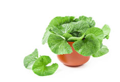 Centella asiatica, Asiatic Pennywort Royalty Free Stock Image