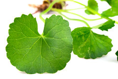 Centella asiatica, Asiatic Pennywort Stock Photo