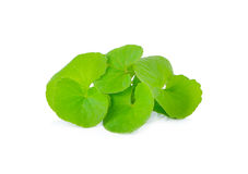Centella asiatica, Asiatic Pennywort on white background Royalty Free Stock Images