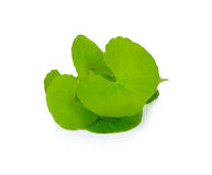 Centella asiatica, Asiatic Pennywort on white background Royalty Free Stock Image