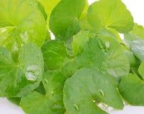 Centella asiatica, Aziatische Pennywort, Centella asiatica Linn royalty-vrije stock afbeeldingen