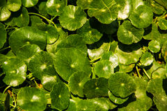 Centella asiatica background Stock Images