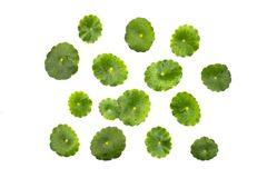 Centella asiatica. On a white background Stock Photography