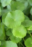 Centella asiatica. Close-up of Centella asiatica plant Stock Photo
