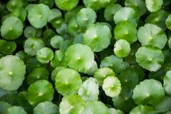Centella asiatica. Close up centella asiatica plant Stock Image