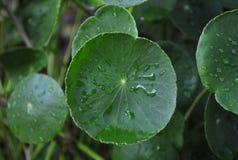 Centella asiatica Stock Photography