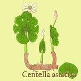 Centella asiatica Ejemplo de una planta en un vector con flujo Imagen de archivo libre de regalías