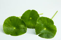Centella asiatica,entella asiatica, Asiatic Pennywort,(Centella. Asiatica (Linn.) Urban Royalty Free Stock Photo