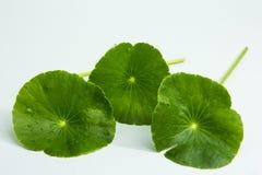 Centella asiatica, entella asiatica, Asiatic wąkrota, (Centella Zdjęcie Royalty Free