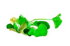 Centella asiatica foi colocado em um fundo branco Fotos de Stock Royalty Free