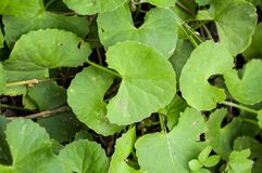 Centella asiatica. In garden Stock Photos