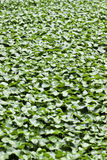 Centella asiatica Royalty Free Stock Image