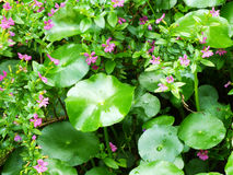 Centella asiatica gotu kola green leaves nature background Royalty Free Stock Images