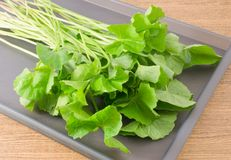 Centella Asiatica or Gotu Kola Plant on A Tray Royalty Free Stock Images