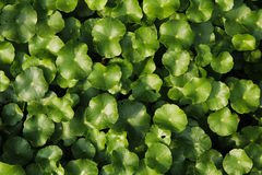 Centella asiatica. The Centella asiatica Green Leaves a Beautiful Royalty Free Stock Images