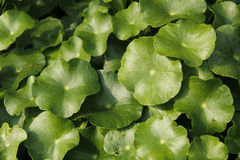 Centella asiatica. The Centella asiatica Green Leaves a Beautiful Stock Images