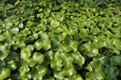 Centella asiatica Stock Images