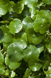 Centella asiatica. Stock Images
